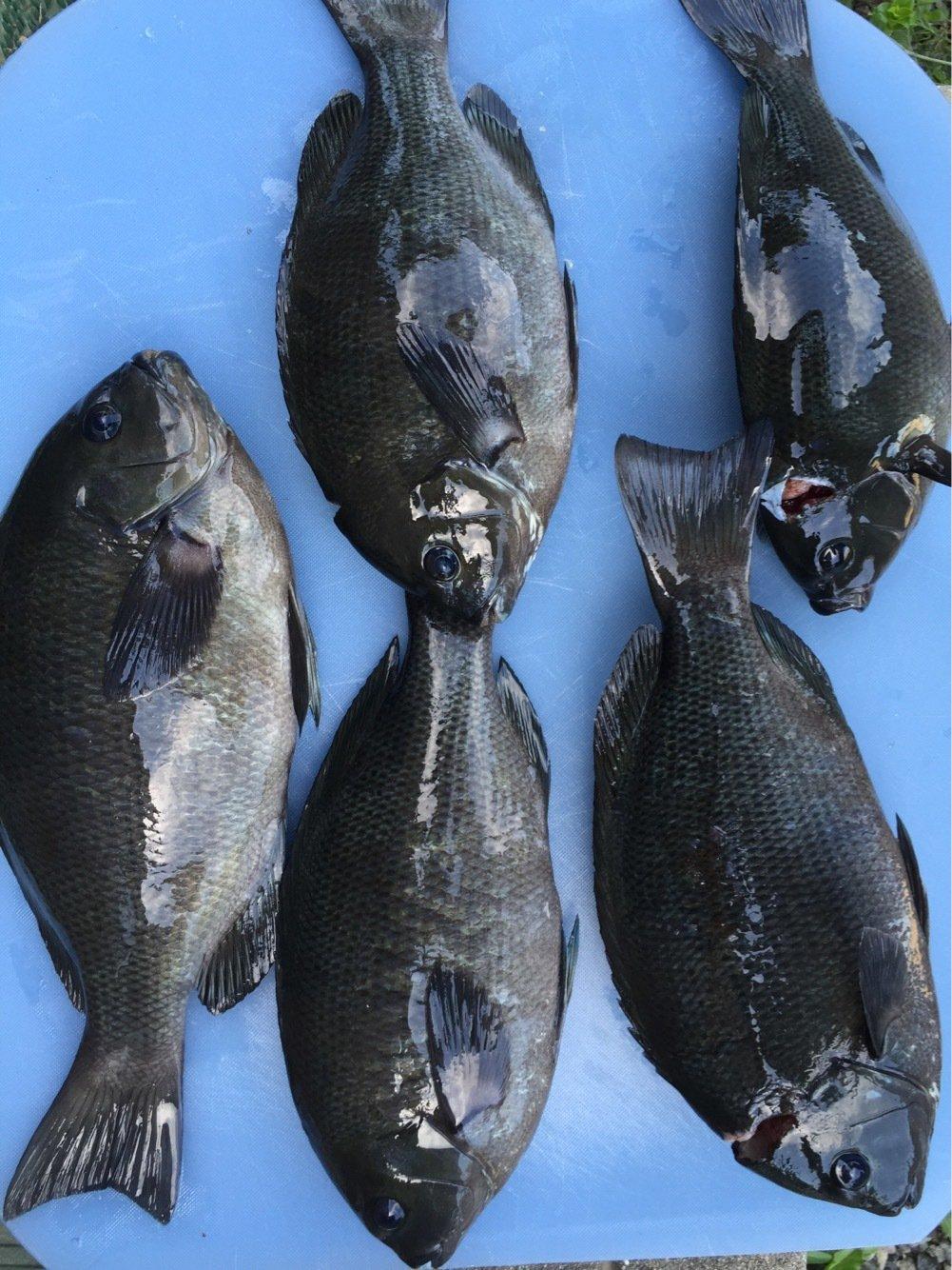 まさみさんの投稿画像,写っている魚はクロメジナ