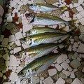 四谷一郎さんの山口県での釣果写真
