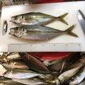 たにやんさんの愛媛県での釣果写真