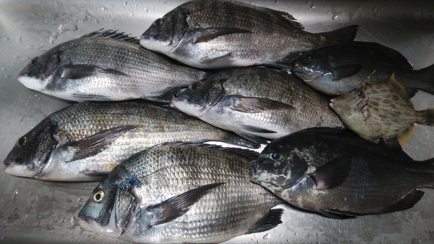 かずくんさんの投稿画像,写っている魚はカワハギ,メジナ,クロダイ