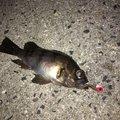 Ry0さんのアナゴの釣果写真