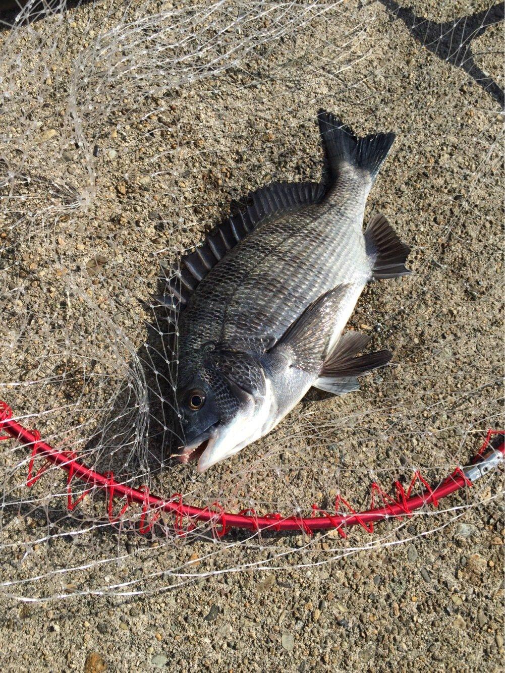 まさみさんの投稿画像,写っている魚はクロダイ