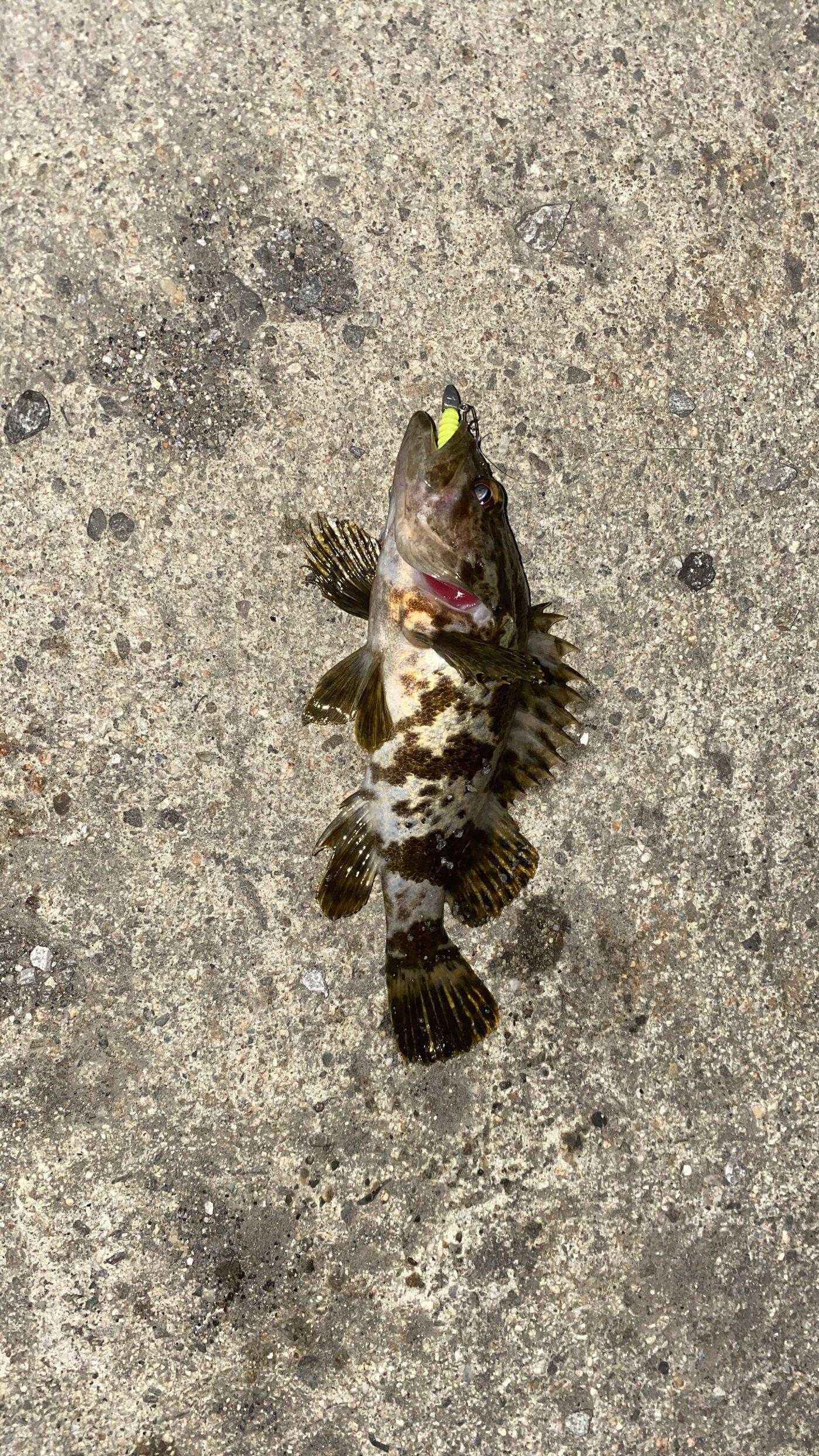 ユッタ。さんの投稿画像,写っている魚はクロソイ