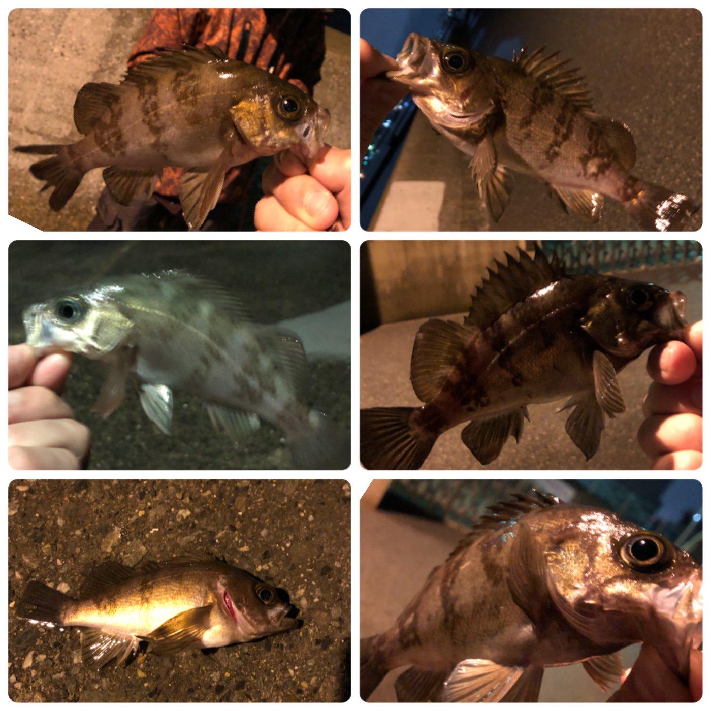 おでんさんの投稿画像,写っている魚はメバル