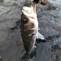 abettiさんの千葉県習志野市での釣果写真