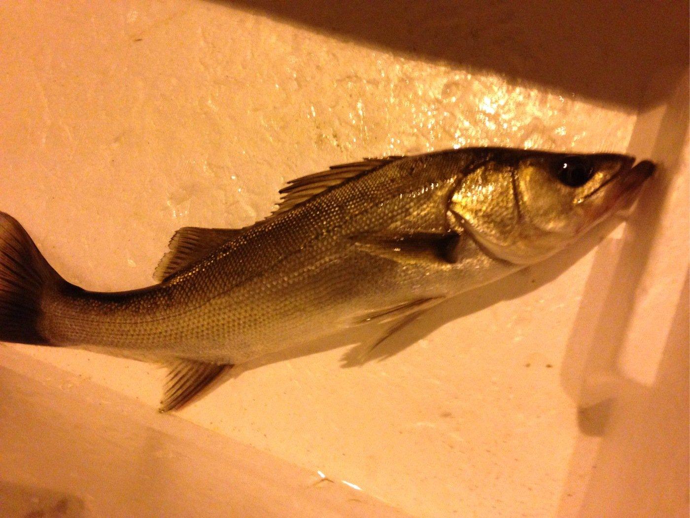 ネイビートートさんの投稿画像,写っている魚はスズキ