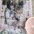 YDKさんの兵庫県明石市でのコウイカの釣果写真