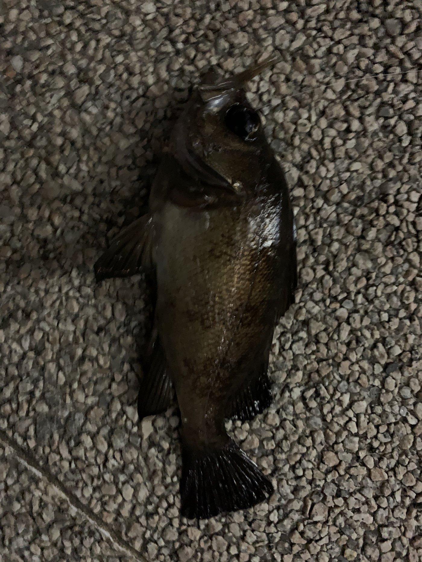 $HIROLYNさんの投稿画像,写っている魚はメバル
