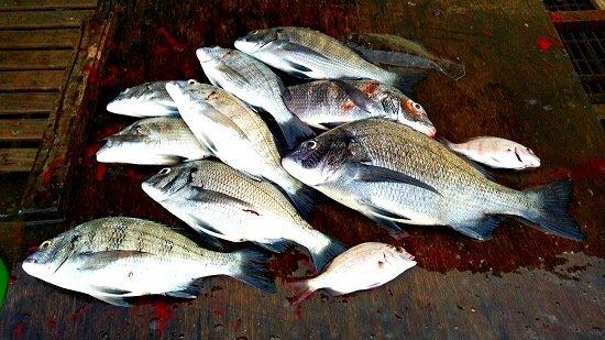 チヌさんの投稿画像,写っている魚はマダイ
