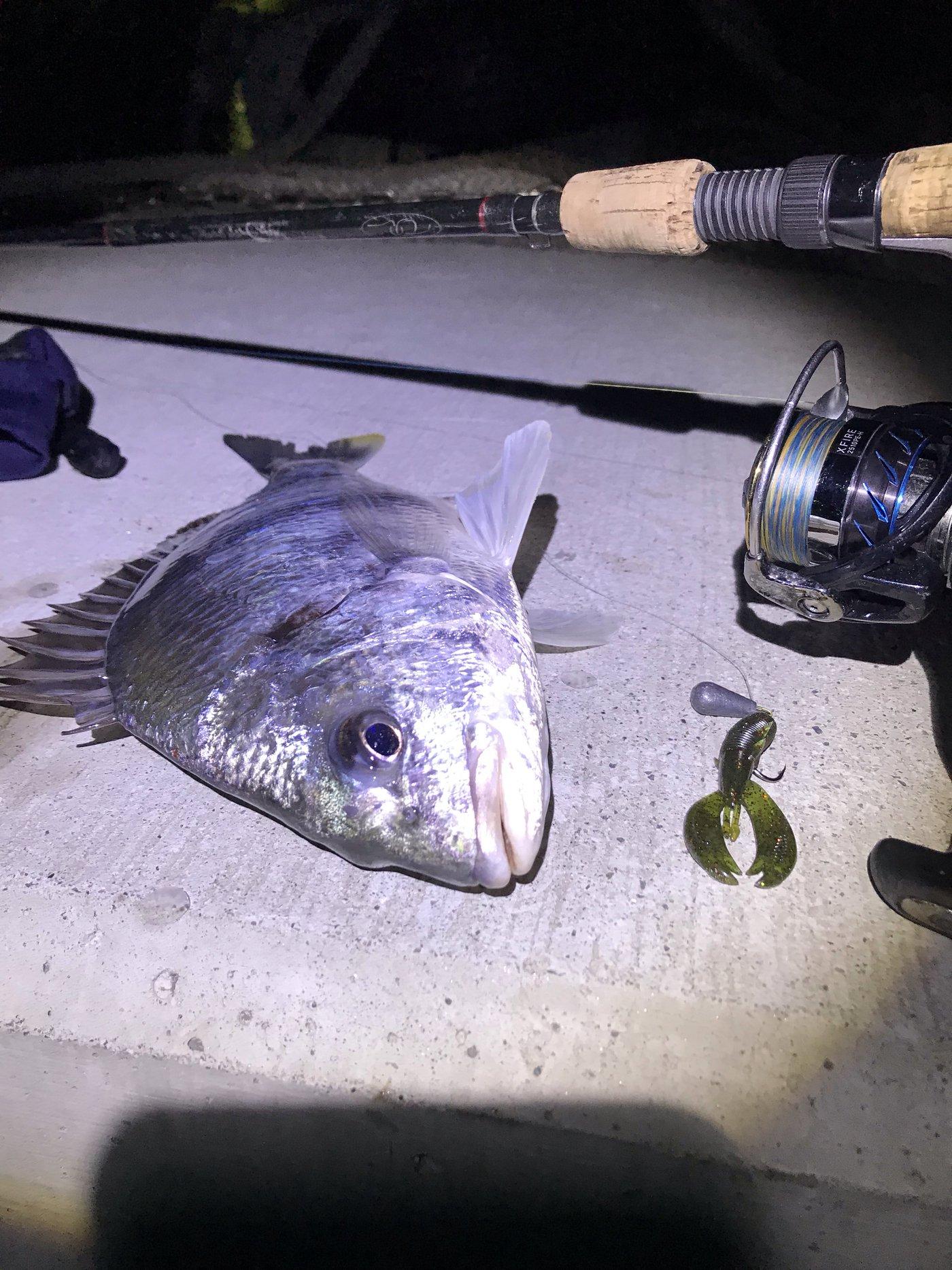 シヴァさんの投稿画像,写っている魚はキチヌ