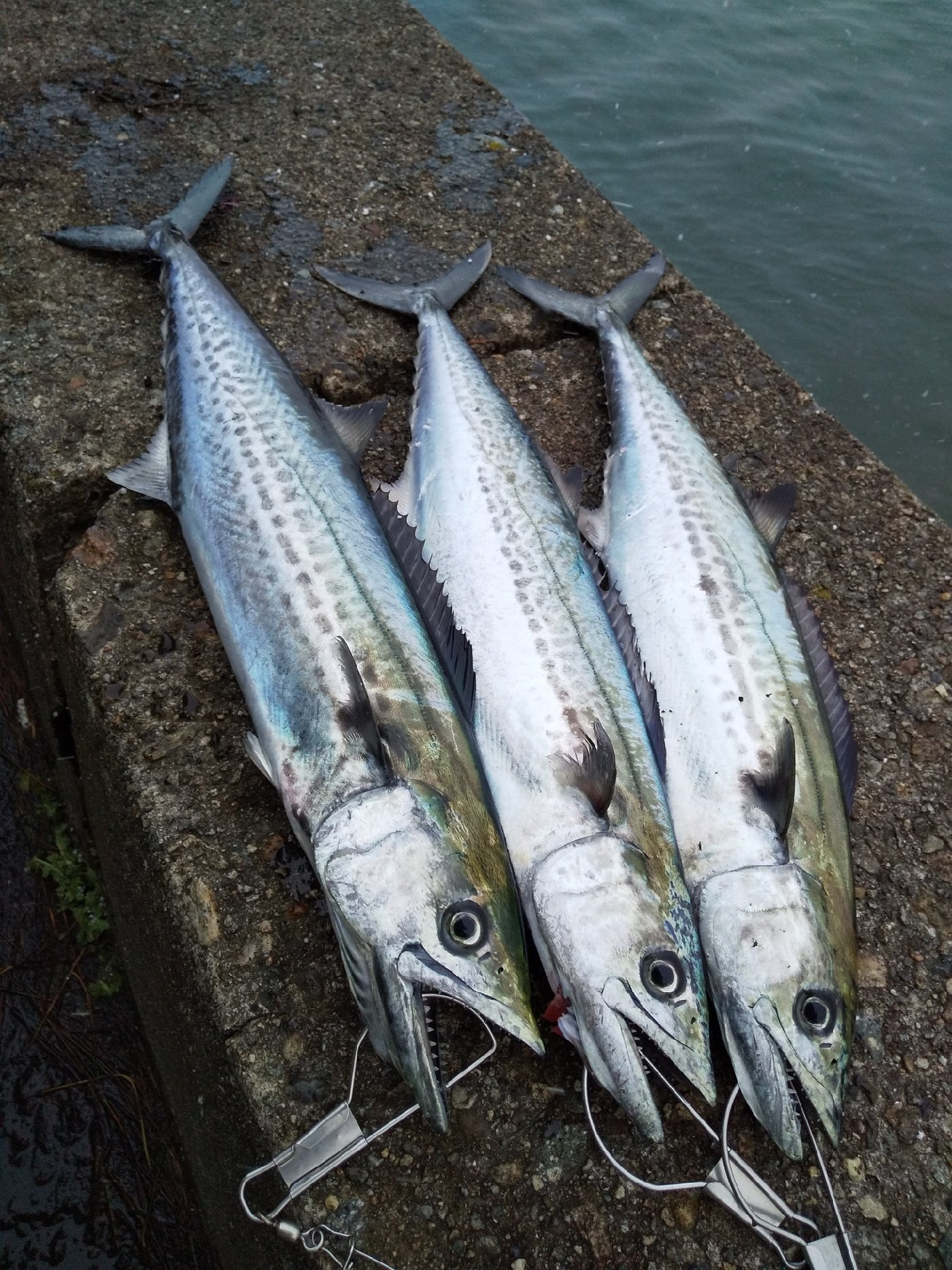 ななみんのぱぱさんの投稿画像,写っている魚はサワラ