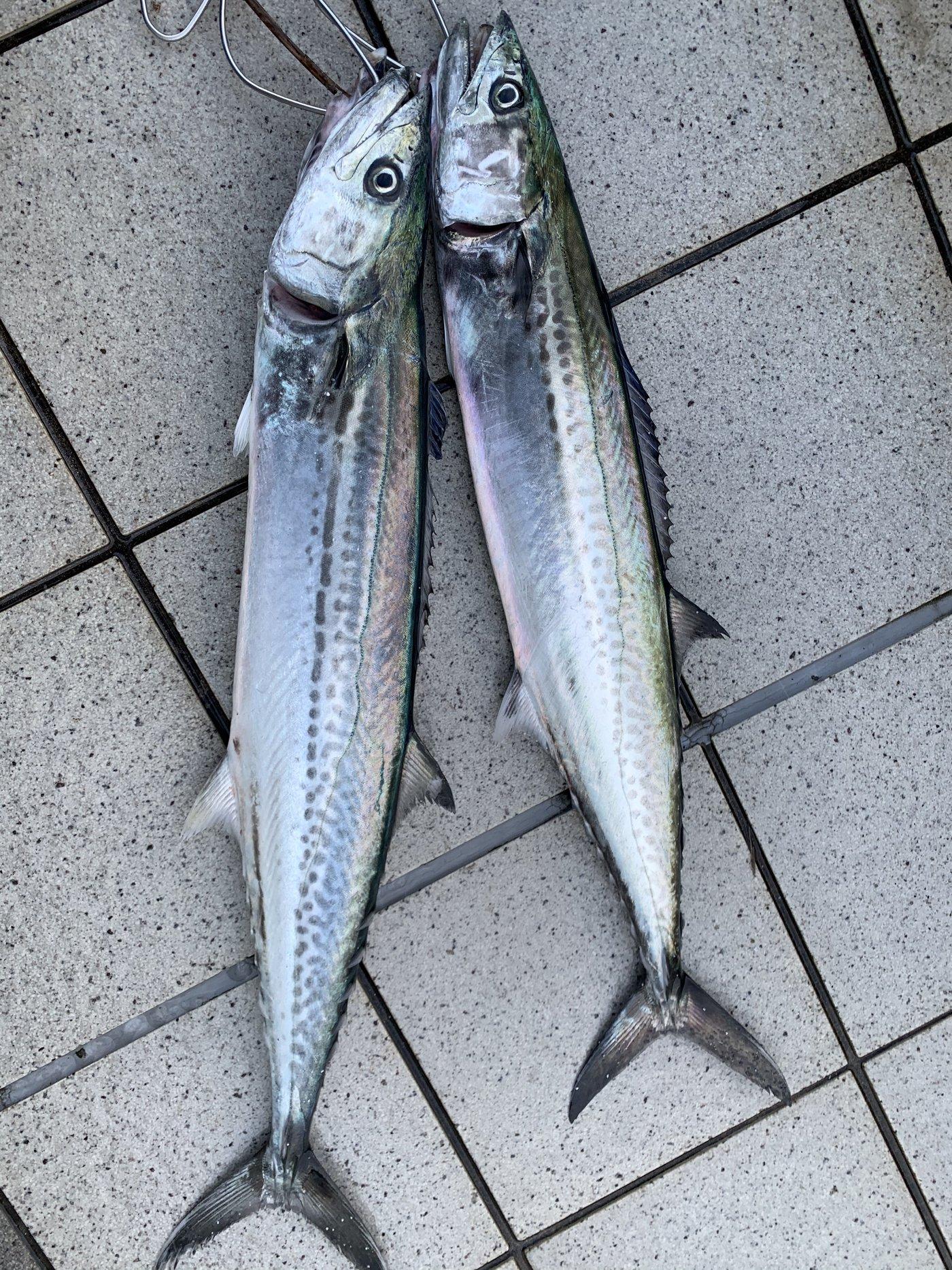 ラッシュさんの投稿画像,写っている魚はサワラ