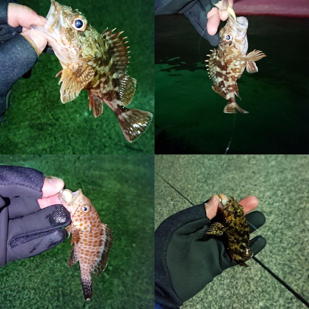 tさんの投稿画像,写っている魚はカサゴ,オオモンハタ