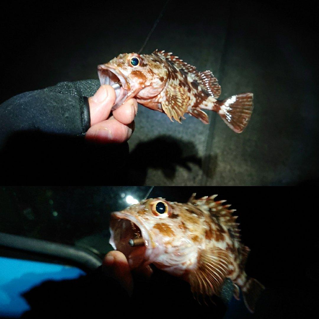 Pokharaさんの投稿画像,写っている魚はカサゴ
