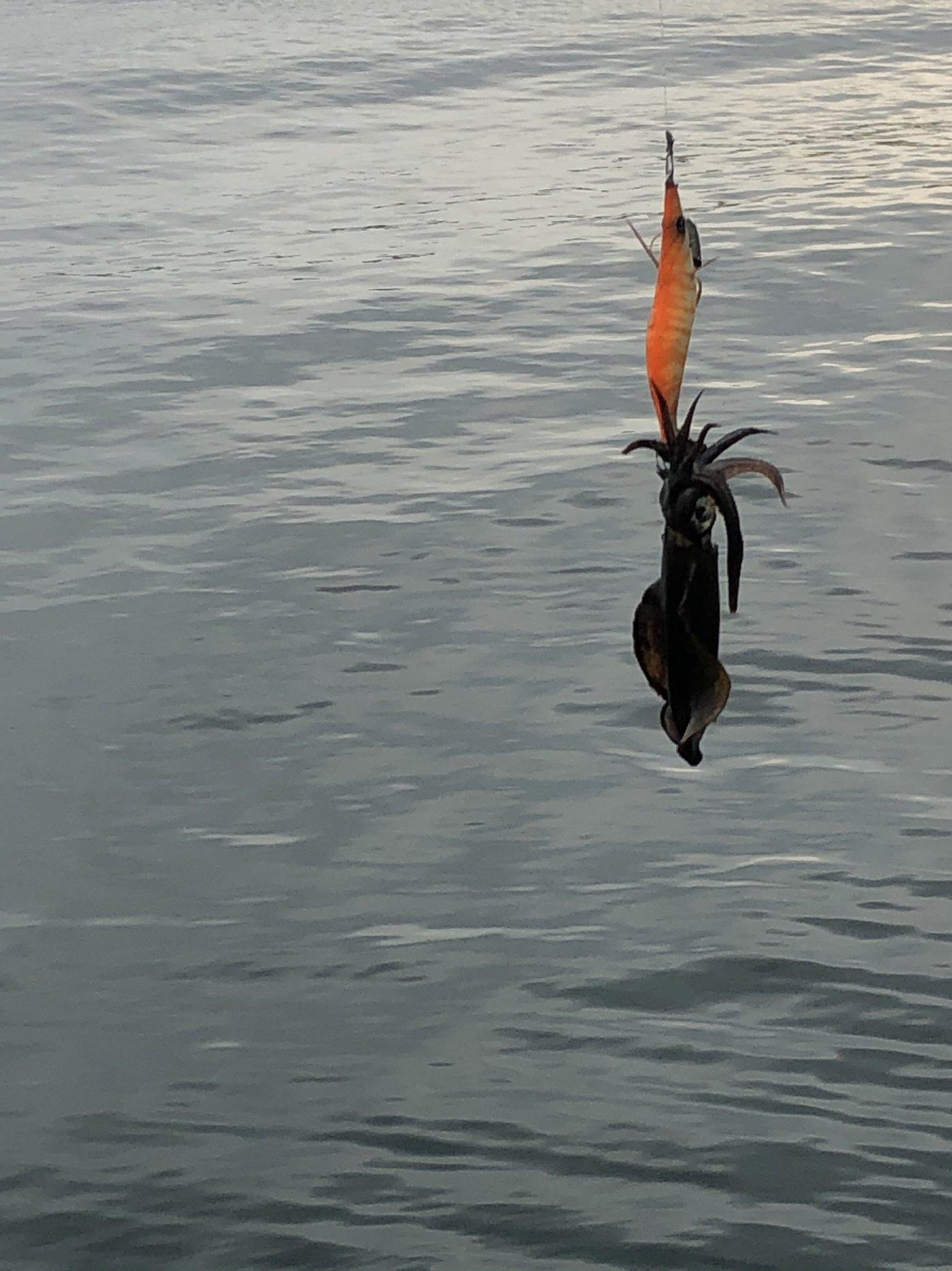 keisukeさんの投稿画像,写っている魚はアオリイカ