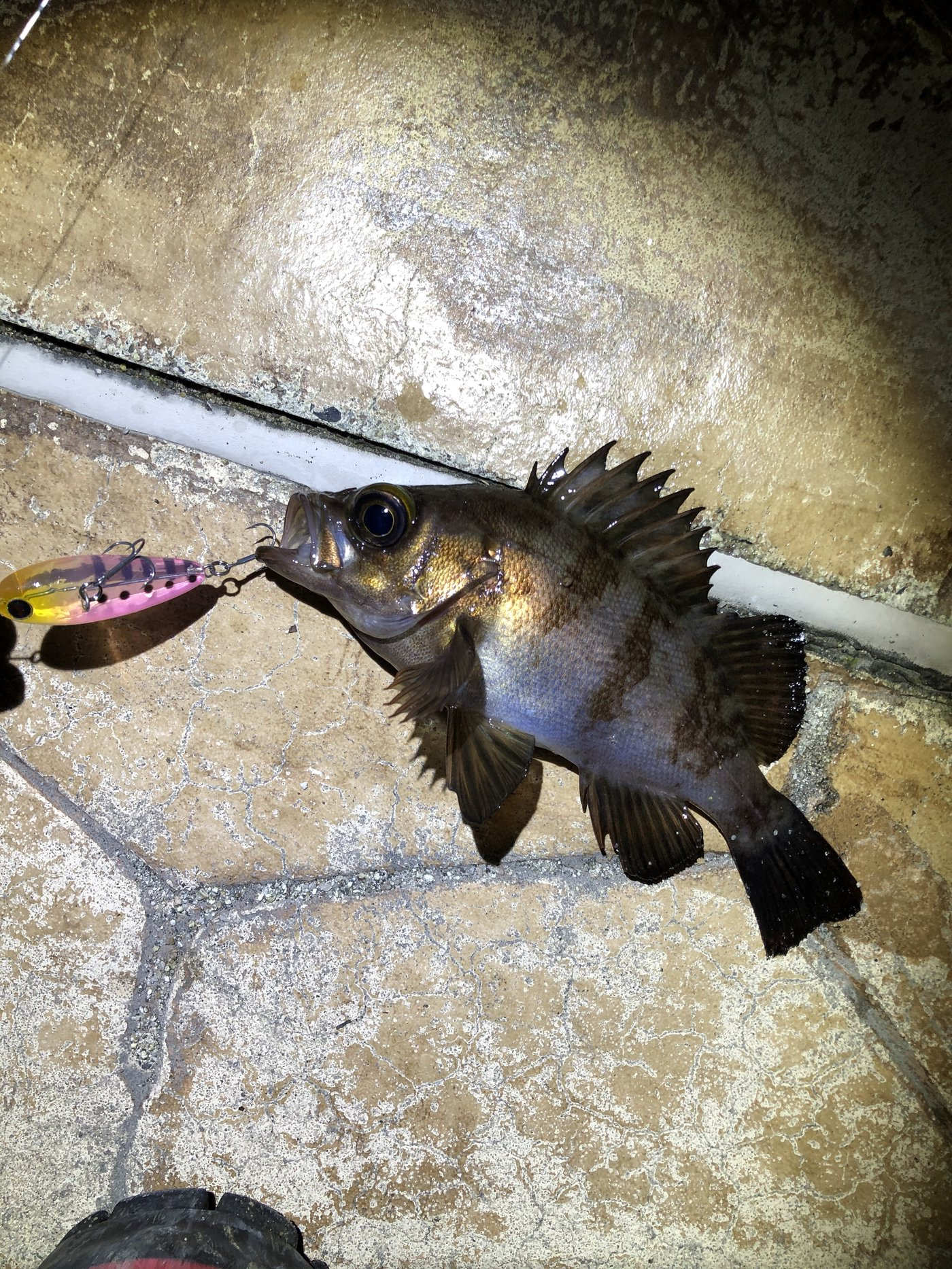 ビギナー釣り師 Lv 3さんの投稿画像,写っている魚はメバル