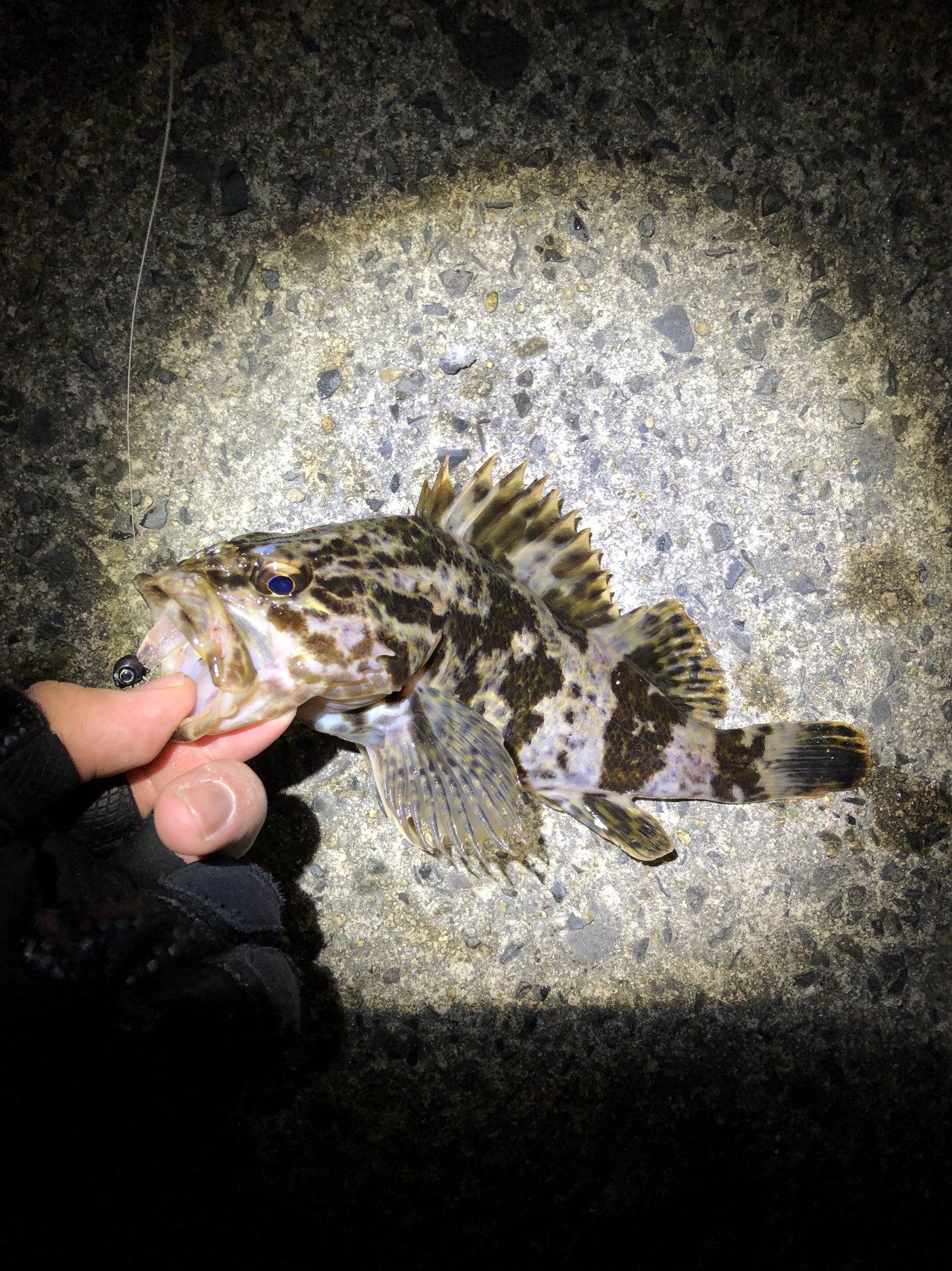 ビギナー釣り師 Lv 3さんの投稿画像,写っている魚はタケノコメバル