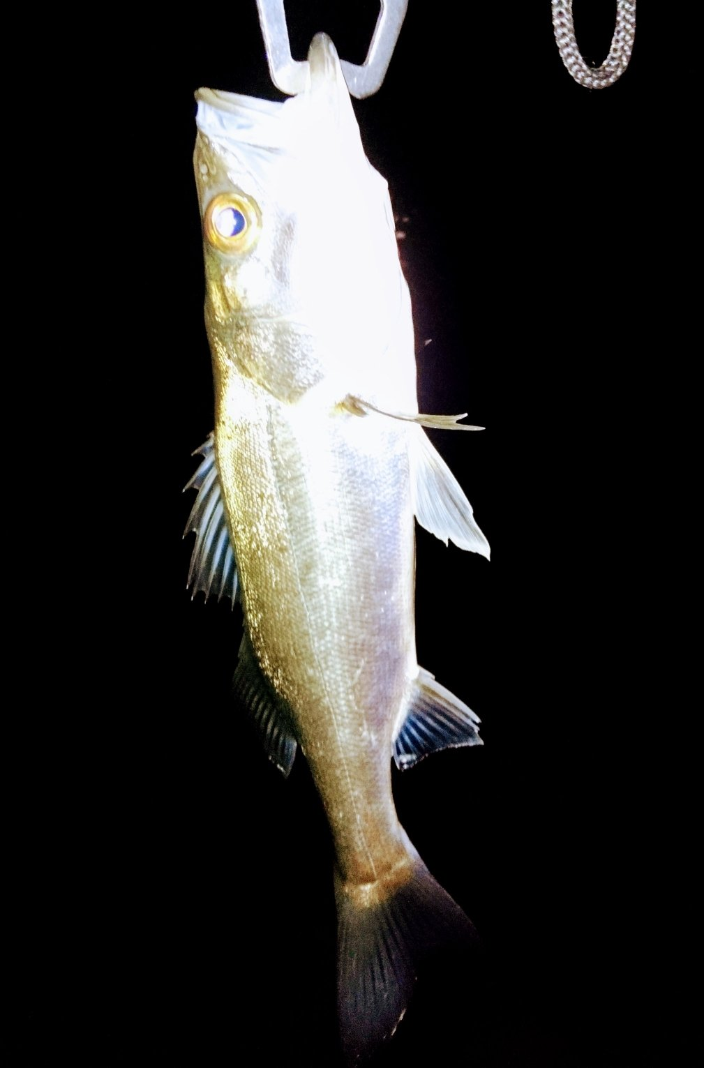 taylorさんの投稿画像,写っている魚はスズキ