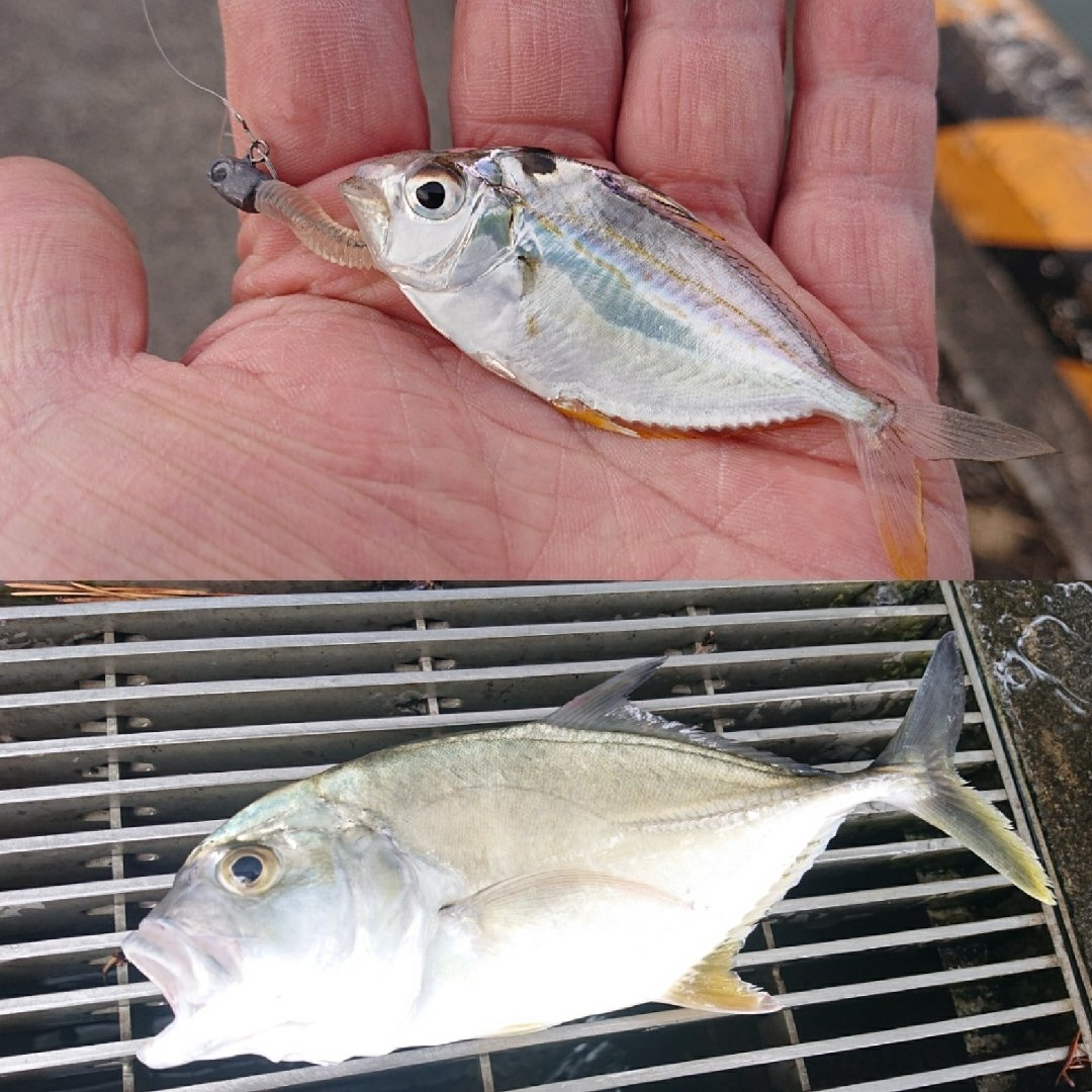 Phokaraさんの投稿画像,写っている魚はロウニンアジ