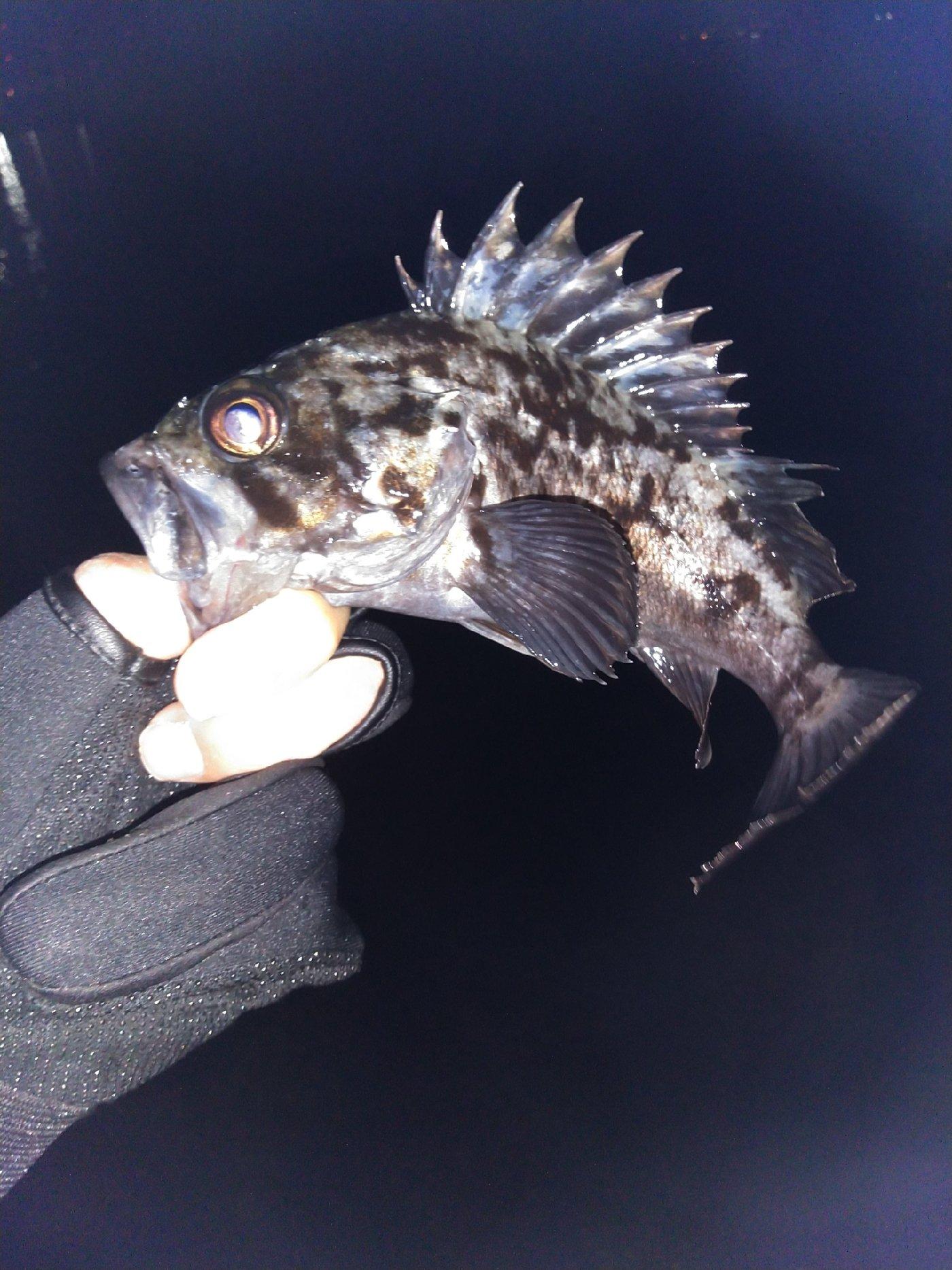 チョコパパさんの投稿画像,写っている魚はクロソイ