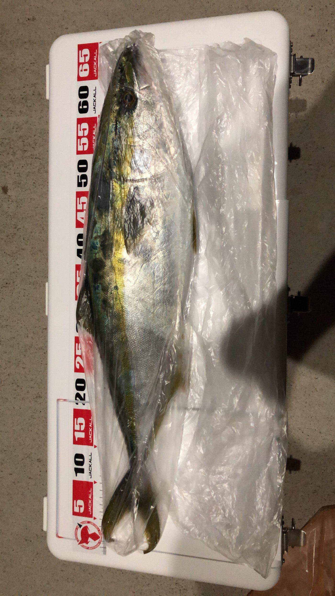 かどーんぬさんの投稿画像,写っている魚はブリ