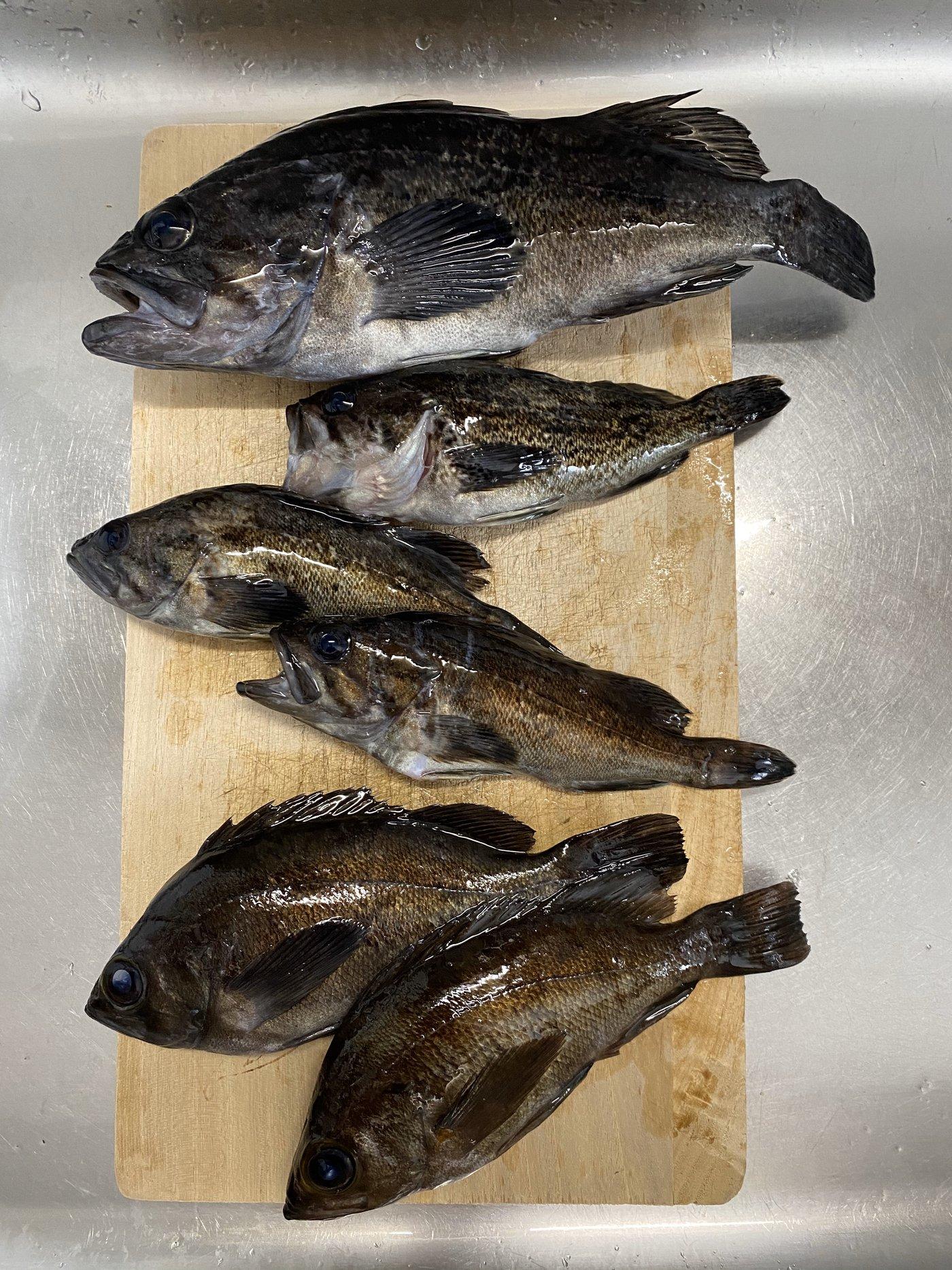 そうさんの投稿画像,写っている魚はクロソイ,メバル