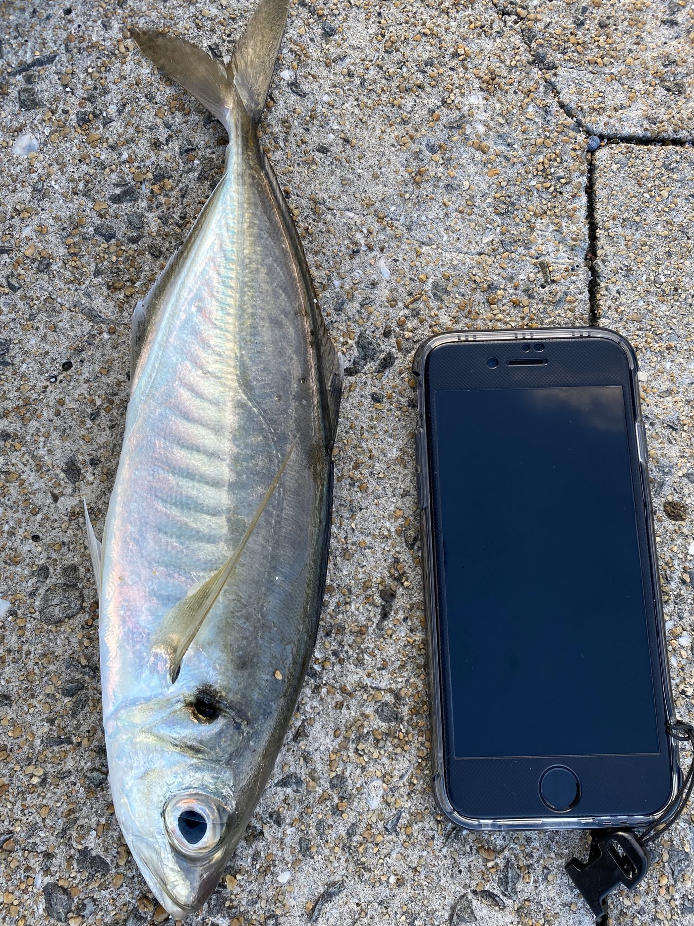 keisukeさんの投稿画像,写っている魚はアジ