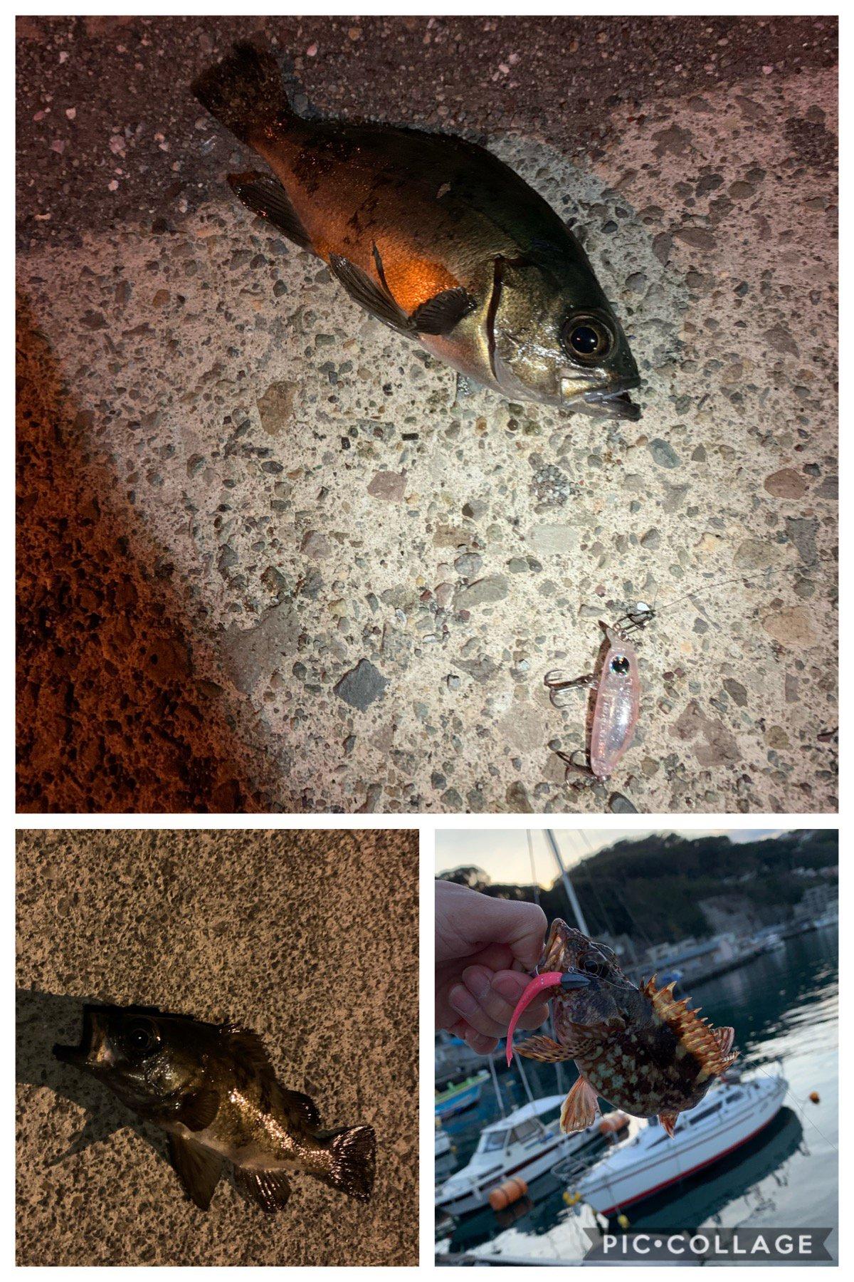 よしさんの投稿画像,写っている魚はメバル,アカカサゴ