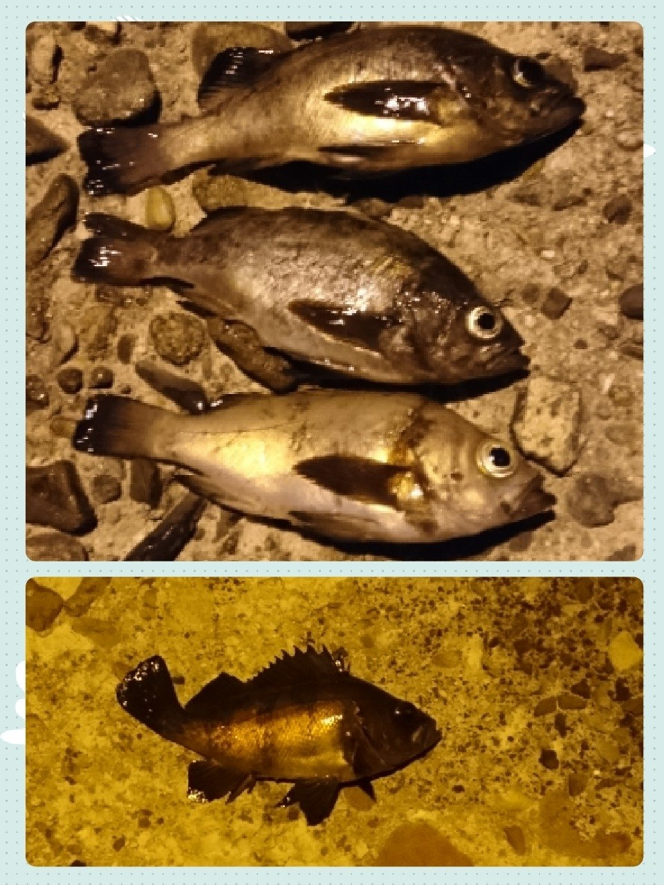 taylorさんの投稿画像,写っている魚はメバル,カサゴ