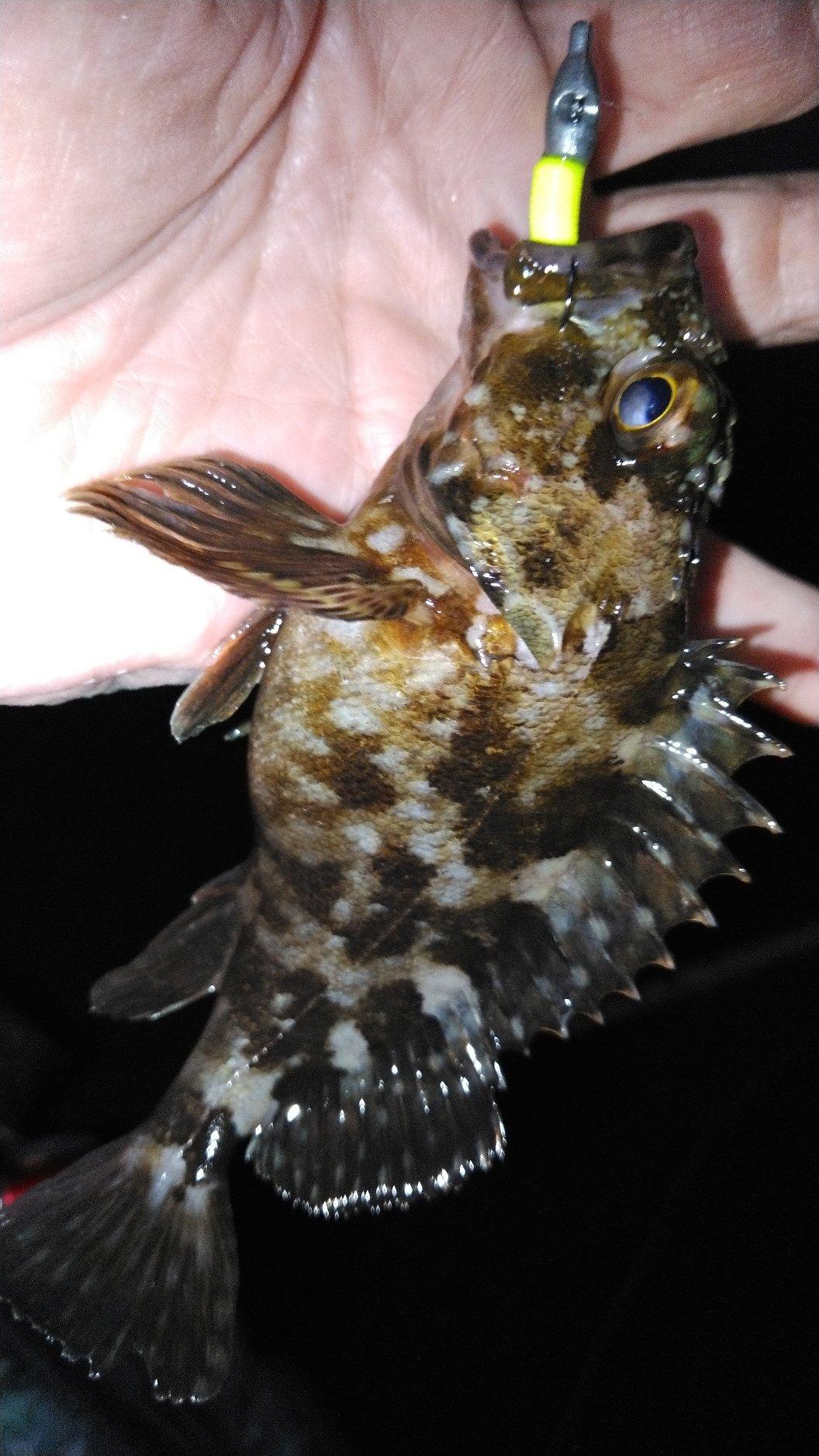 あんぐら~自己チュウ心派さんの投稿画像,写っている魚はカサゴ