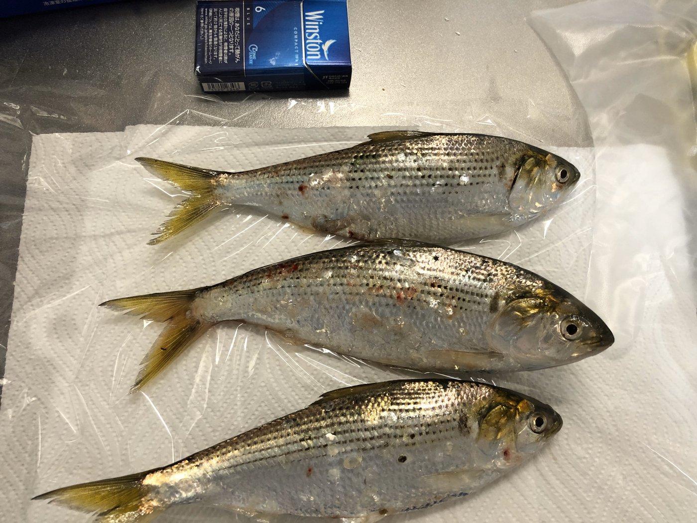 木工さんの投稿画像,写っている魚はコノシロ