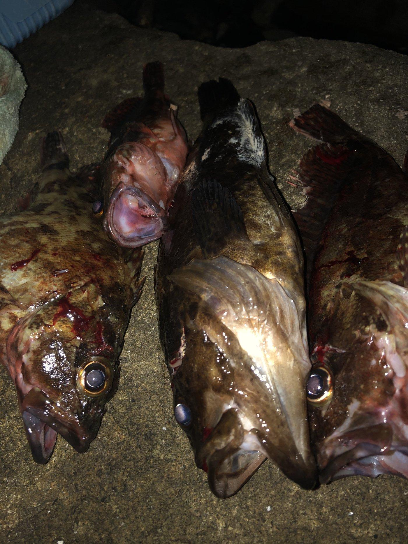 ヨッシーK2さんの投稿画像,写っている魚はタケノコメバル,カサゴ