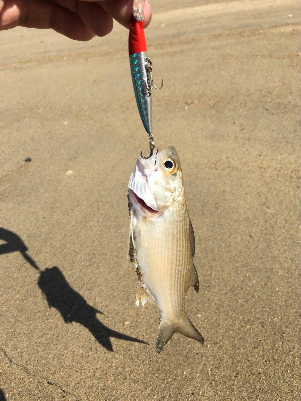 大五郎さんの投稿画像,写っている魚はツバメコノシロ