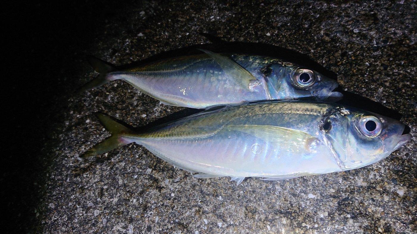 ピョンさんの投稿画像,写っている魚はアジ