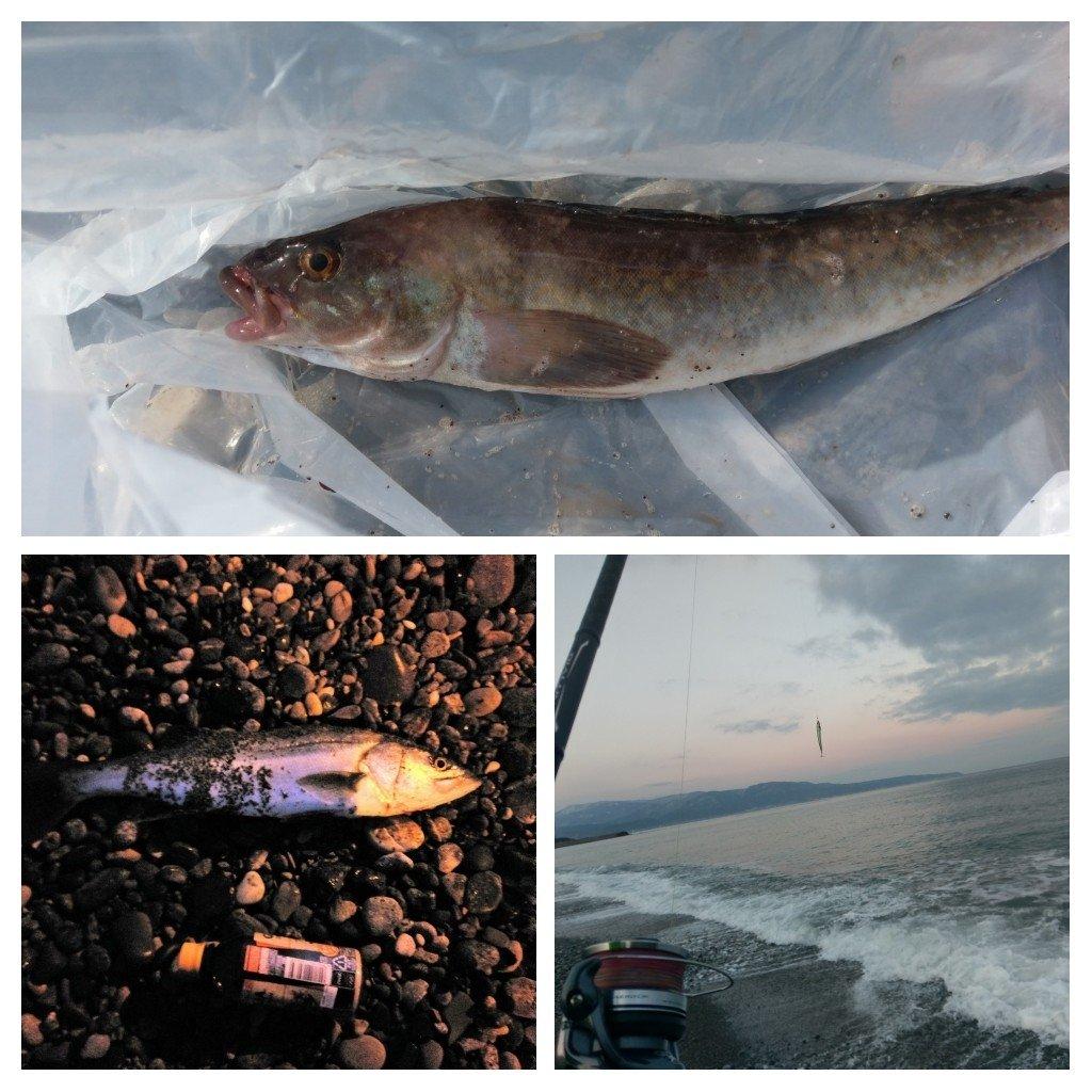よしさんの投稿画像,写っている魚はホッケ,スズキ