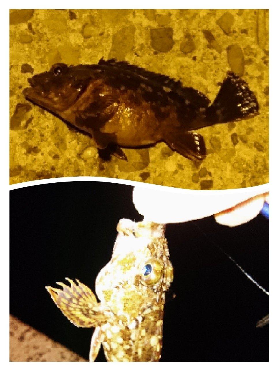 taylorさんの投稿画像,写っている魚はカサゴ