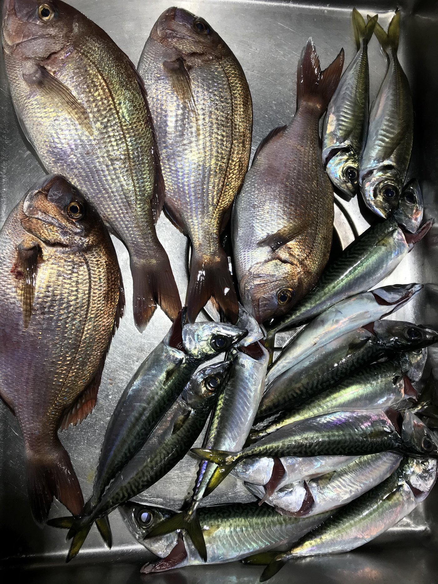 英信さんの投稿画像,写っている魚はマダイ