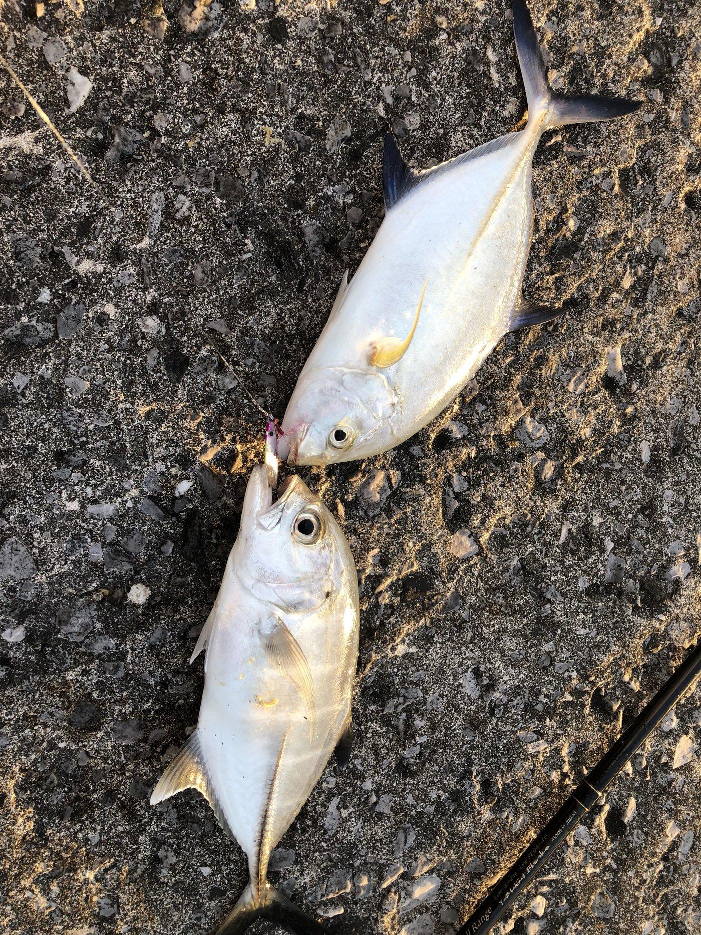 ヨウスケさんの投稿画像,写っている魚はカスミアジ,ギンガメアジ