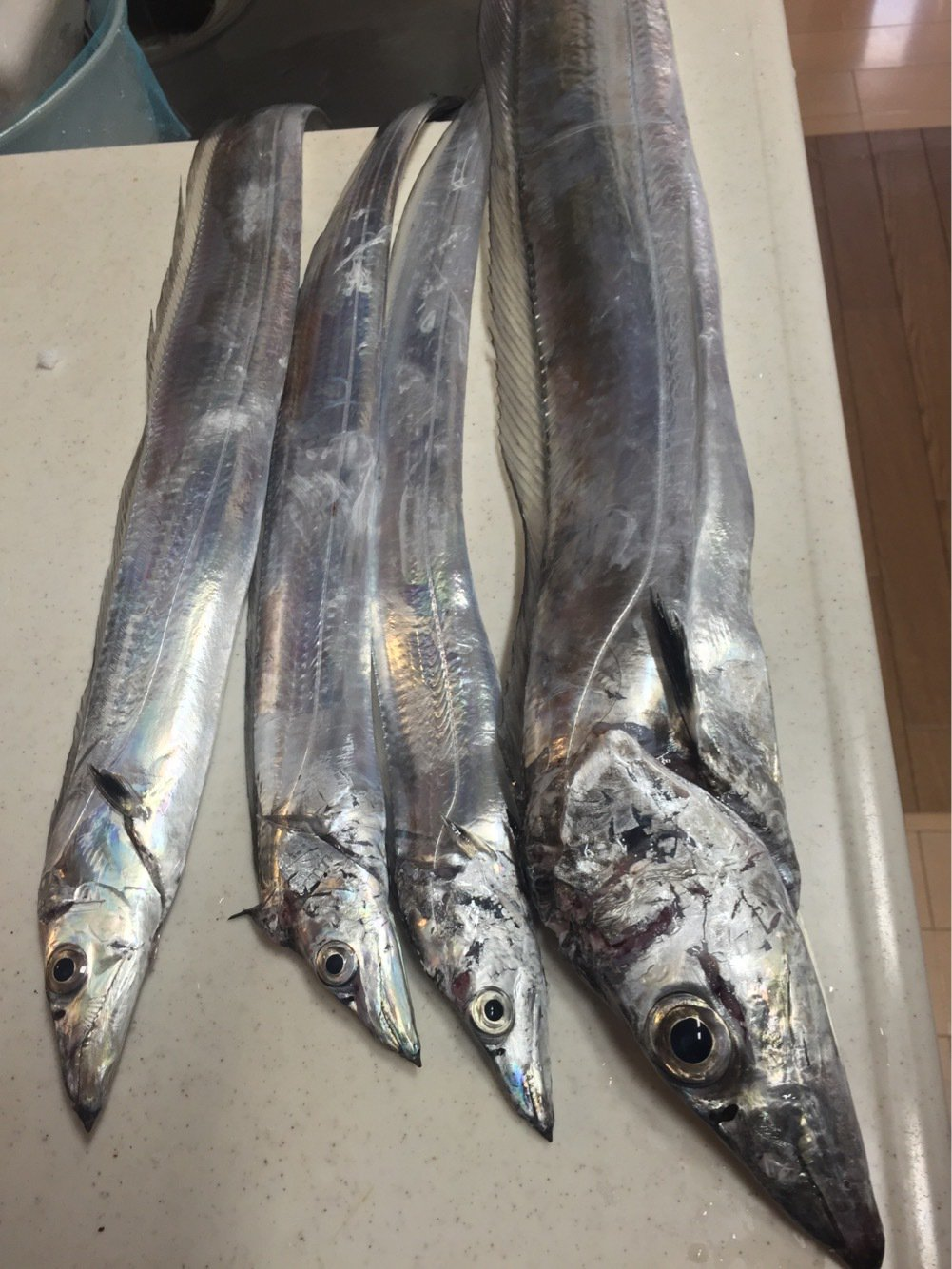 ぐんずさんの投稿画像,写っている魚はタチウオ