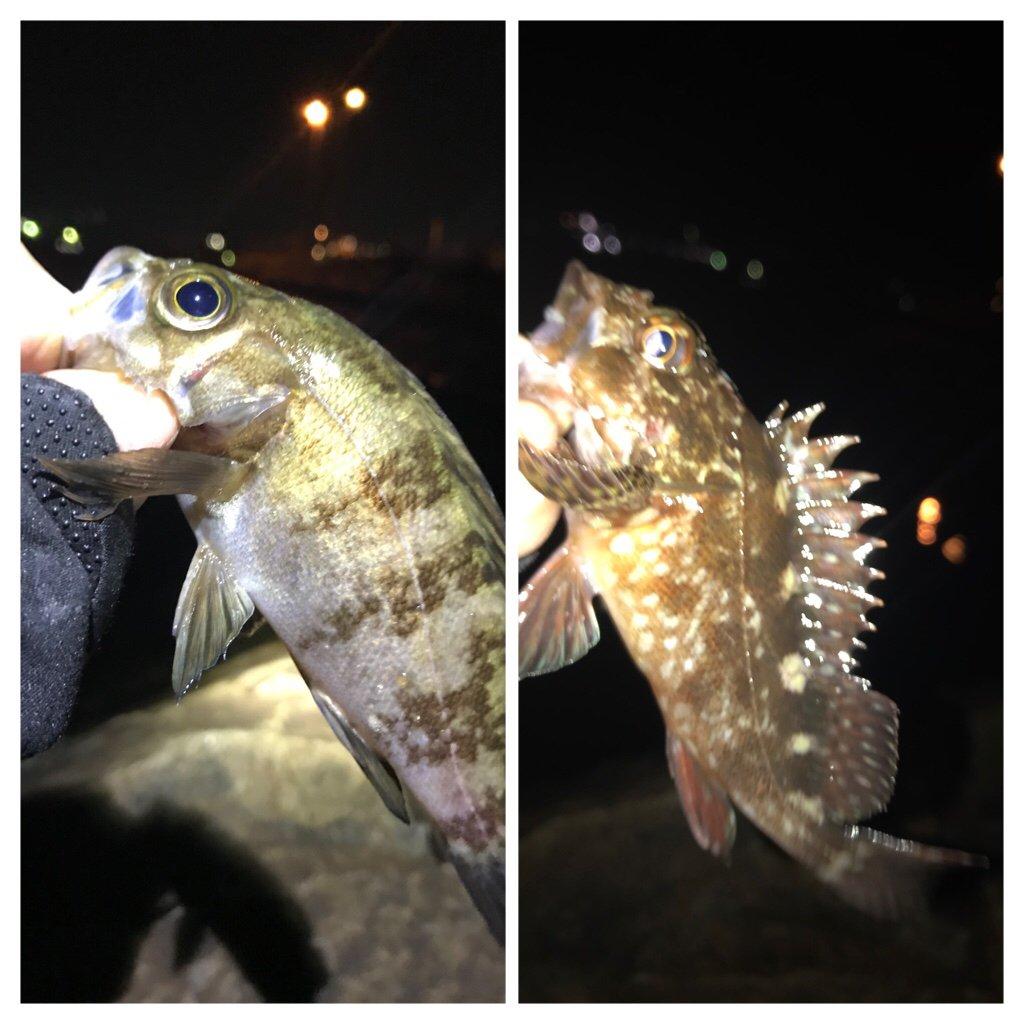 ぎーちゃんさんの投稿画像,写っている魚はメバル,カサゴ