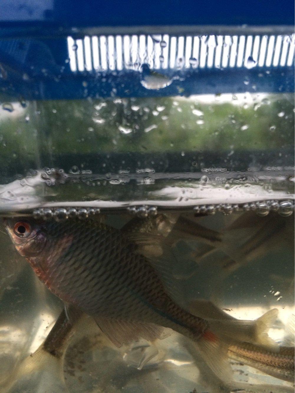 よしをさんの投稿画像,写っている魚はタイリクバラタナゴ