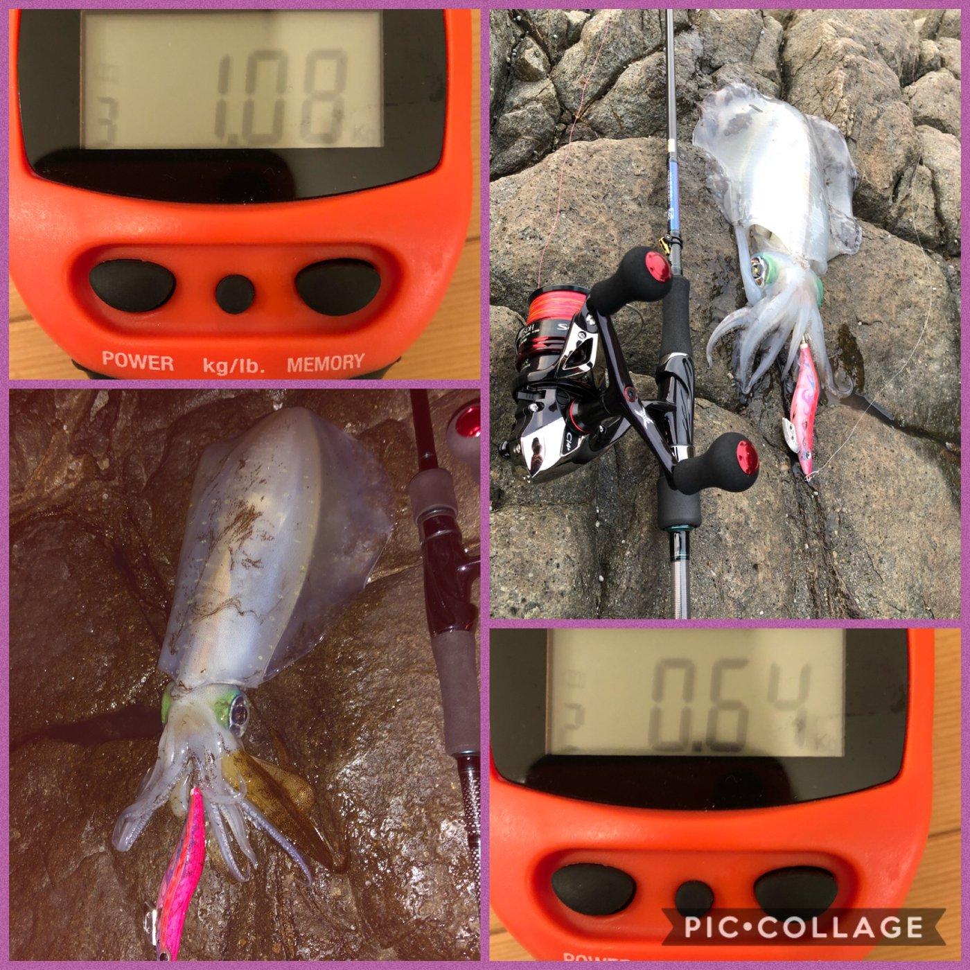 sato@釣り修業さんの投稿画像,写っている魚はアオリイカ