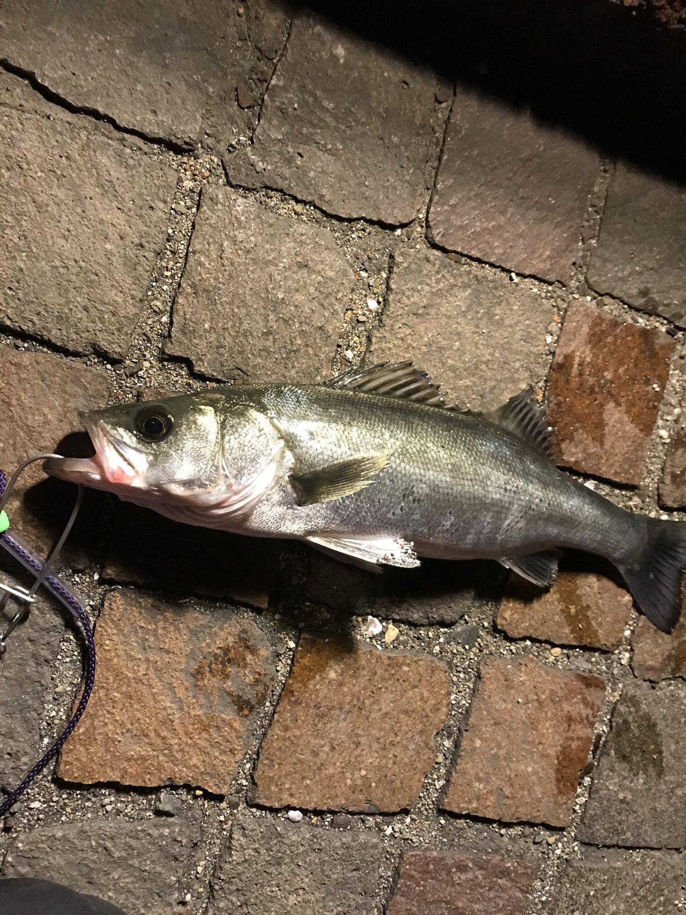 きんちゃんさんの投稿画像,写っている魚はスズキ