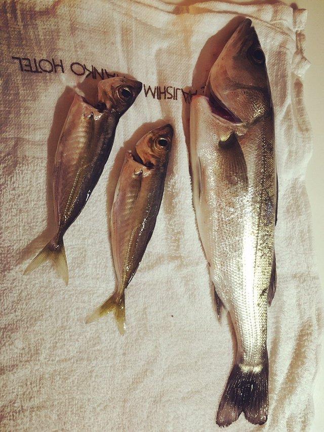 プーさんさんの投稿画像,写っている魚はスズキ