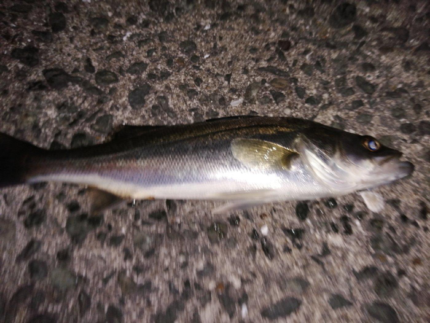 Hawabriさんの投稿画像,写っている魚はスズキ