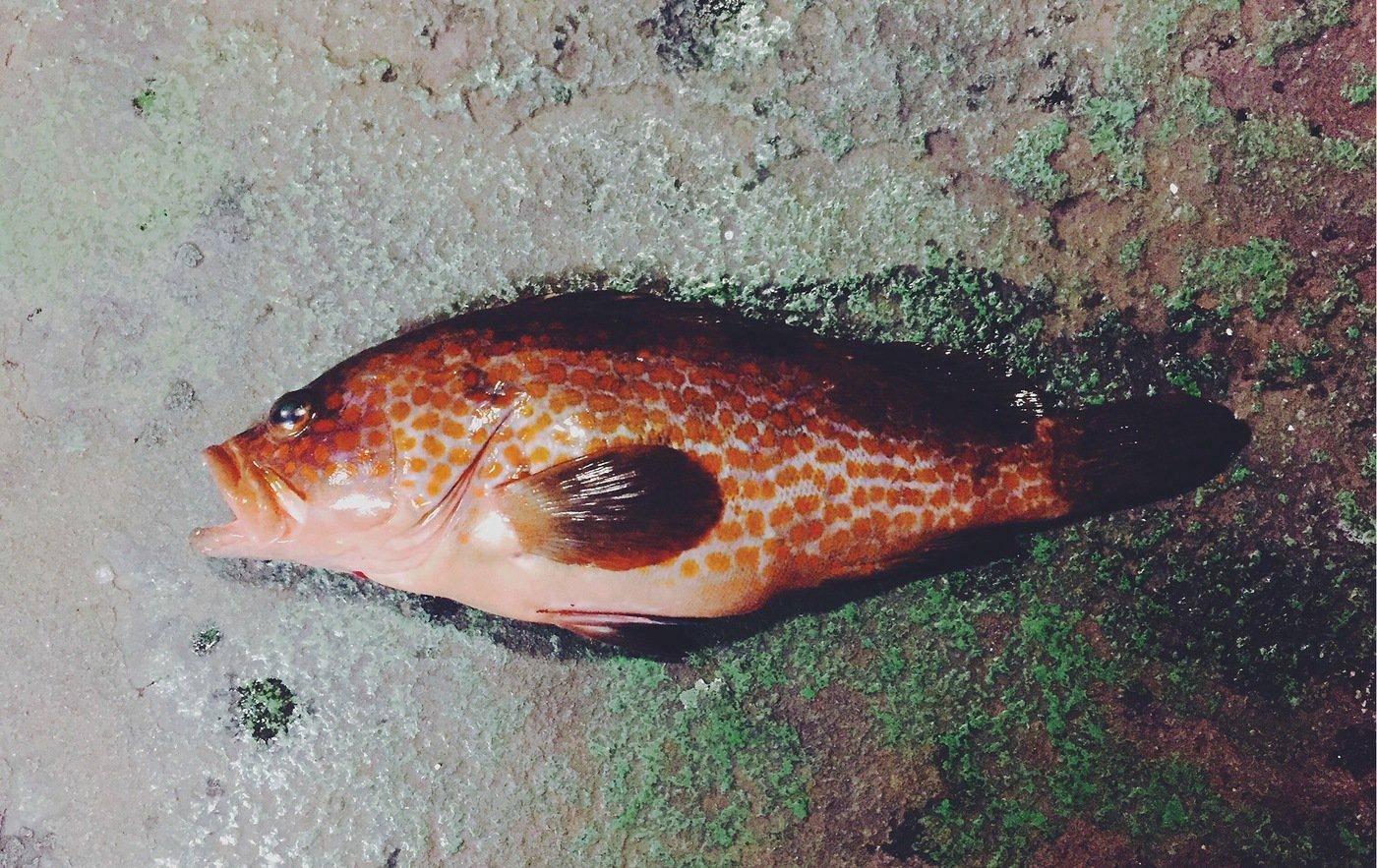 seiichiro hashiさんの投稿画像,写っている魚はキジハタ