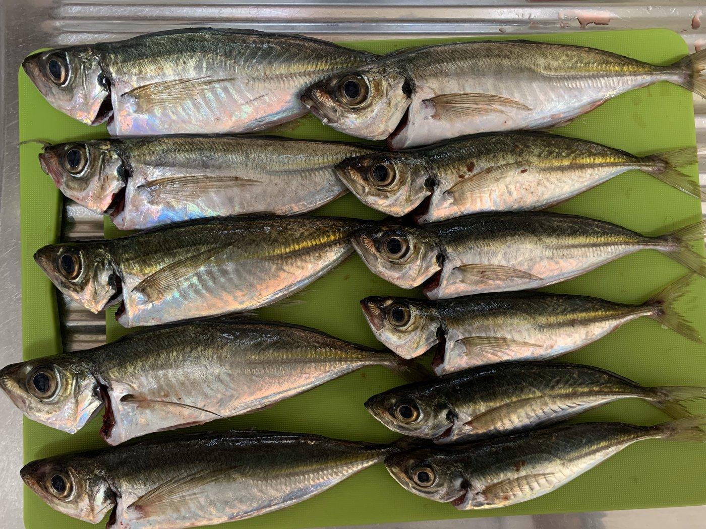 RioReoさんの投稿画像,写っている魚はアジ,