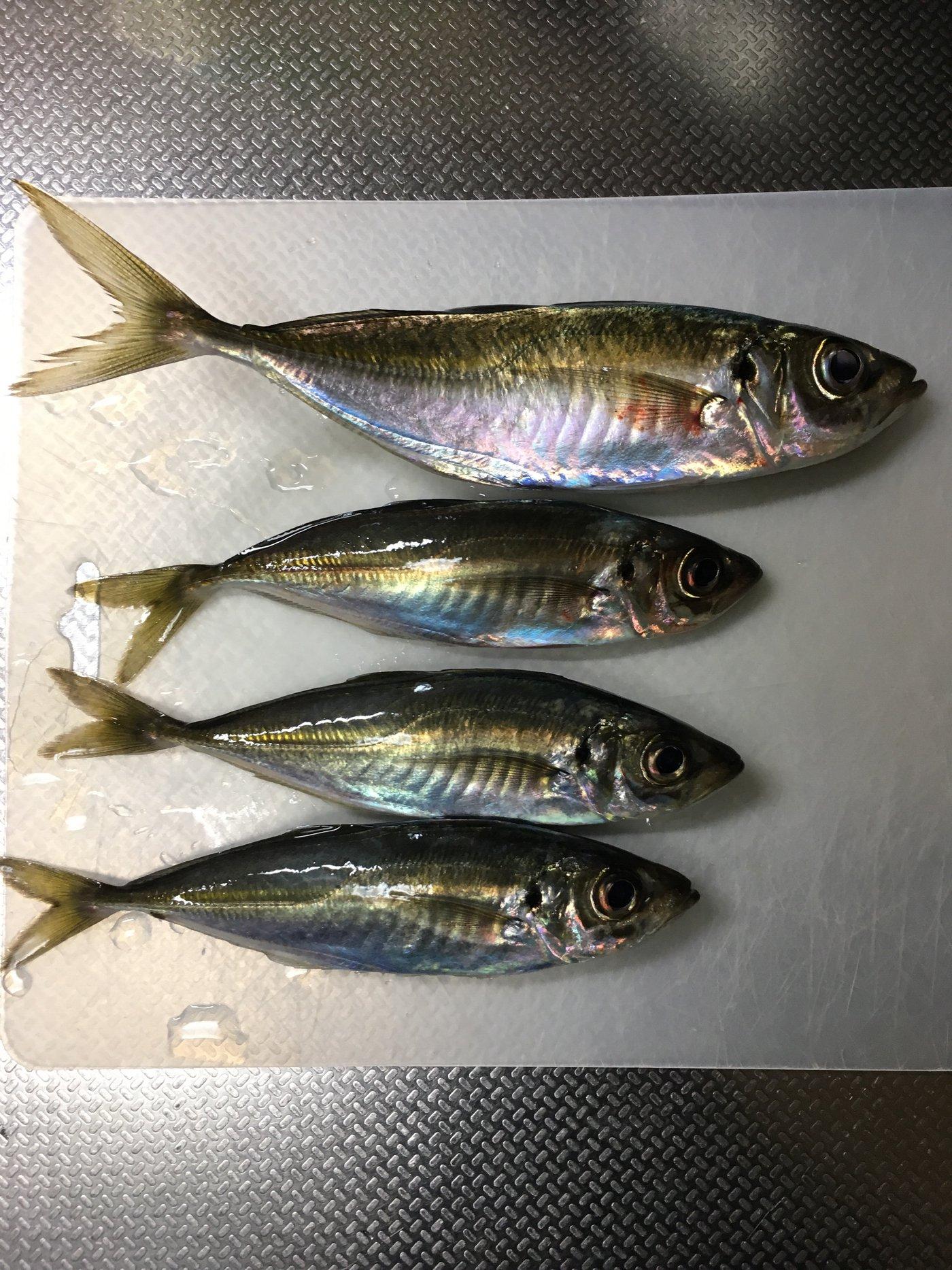 プーさんさんの投稿画像,写っている魚はアジ