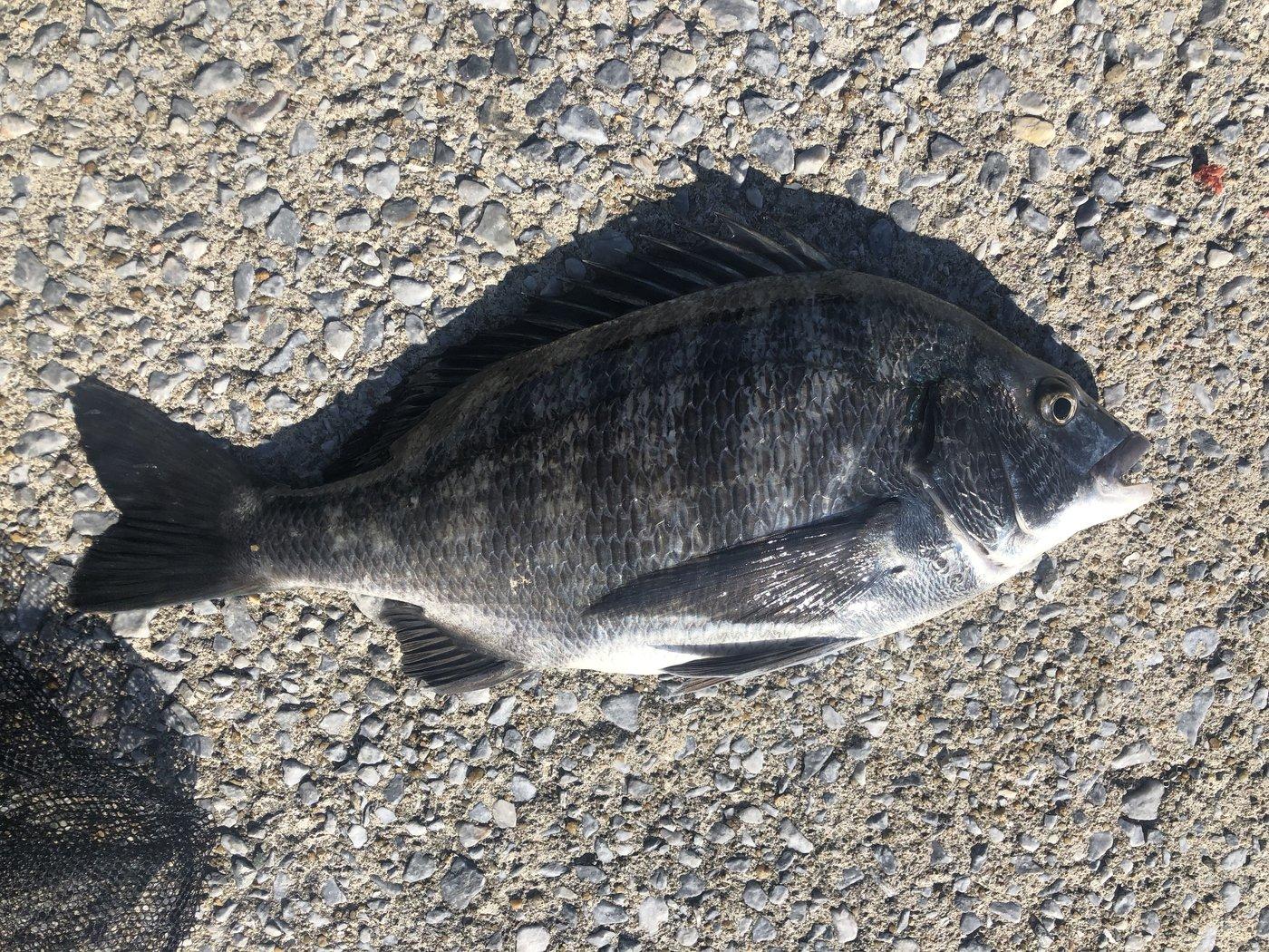 しゅーびーさんの投稿画像,写っている魚はクロダイ