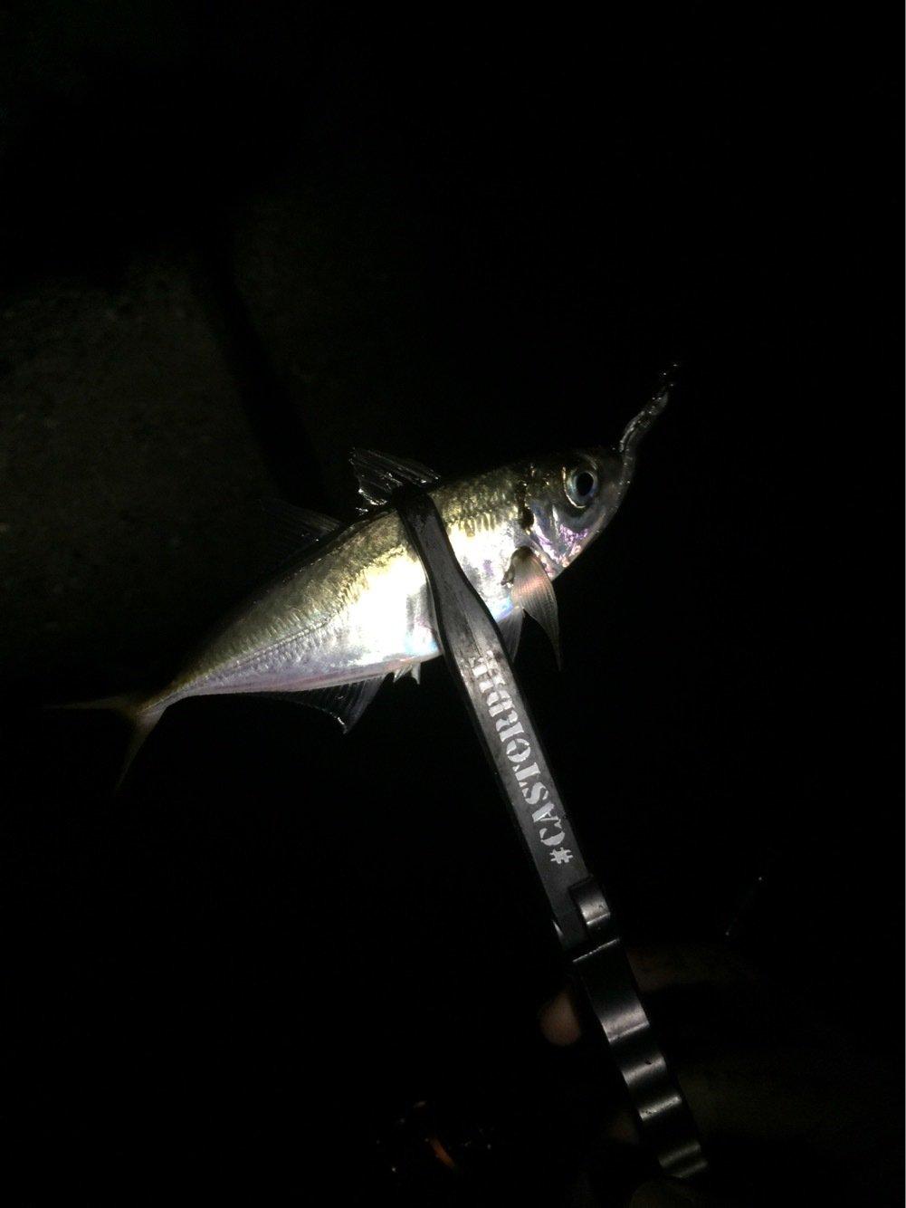 thegskさんの投稿画像,写っている魚はアジ